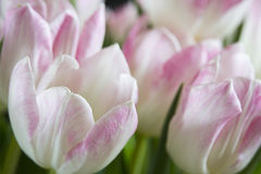 White and pink tulips Stock Photos
