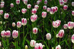White Pink Tulips Royalty Free Stock Images