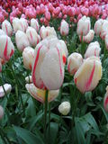 White and Pink Tulips with Dewdrops after a Gentle Light Rain Royalty Free Stock Photography