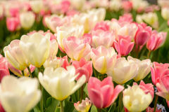 White and Pink Tulips Royalty Free Stock Photo