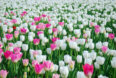 White and pink tulips field. Many white and pink tulips field Stock Image