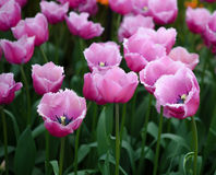 White and pink tulips. In the garden flower bed Royalty Free Stock Photography