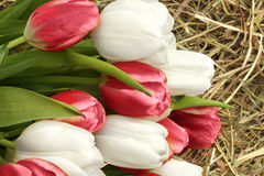 White and pink tulips on hay Royalty Free Stock Photography