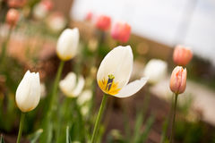 White and Pink Tulips in Spring stock photos