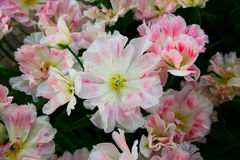 White-pink variegated tulips growing on the flowerbed. Top view. Stock Photography