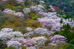 White and pink wild cherry blossoms on Mount Arashi in the Arashiyama area of Kyoto, Japan Royalty Free Stock Photography