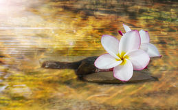 White pink and yellow fragrant flower plumeria or frangipani on Royalty Free Stock Images