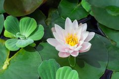 White and pink with a yellow lotus core surrounded by aquatic plants in the water. Sunlight illuminates the plant, a beautiful flower in the summer royalty free stock image