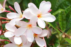 White, pink and yellow plumeria ,frangipani flowers Royalty Free Stock Images