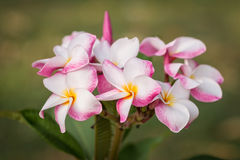 White, pink and yellow plumeria frangipani flowers with leaves Royalty Free Stock Image