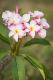 White, pink and yellow plumeria frangipani flowers with leaves Stock Photos