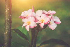 White, pink and yellow plumeria frangipani flowers with leaves Royalty Free Stock Photography