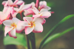 White, pink and yellow plumeria frangipani flowers with leaves Stock Image