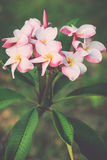 White, pink and yellow plumeria frangipani flowers with leaves Stock Photography