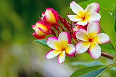 White , pink and yellow Plumeria spp. (frangipani flowers, Frang Stock Photography