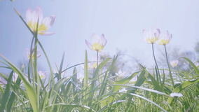 White Pink Yellow Tulips in Spring Sunshine stock footage