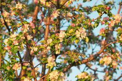 Spring flowers of apple Stock Photo