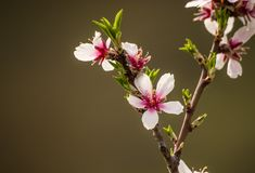 Cherry Tree Flower sprouting royalty free stock photos