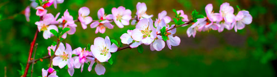 White and pinky blossom. White and pinky cherry plum blossom in spring Stock Photo