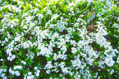 White piraea thunbergii small flowers in spring, Japan Stock Images