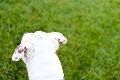White Pit Bull, American Staffordshire Terrier Outdoors. During golden light on green grass royalty free stock photos