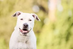 White Pit Bull, American Staffordshire Terrier Outdoors. During golden light on green grass royalty free stock photography