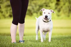 White Pit Bull, American Staffordshire Terrier Outdoors. During golden light on green grass royalty free stock image