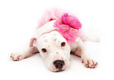 White Pit Bull Dog Wearing Pink Stock Images