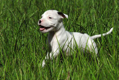 White Pit Bull Puppy Royalty Free Stock Image