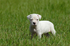 White Pit Bull Puppy Stock Image