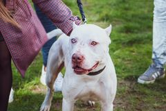 White pitbull with eyes of different colors, Exhibition of dogs. Staffordshire Terrier dog with the owners royalty free stock photos