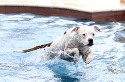 White pitbull jumping in the swimming pool Royalty Free Stock Image
