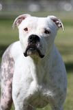 White Pitbull posing for her photo Royalty Free Stock Photography