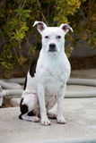 White Pitbull sitting and posing for portrait Stock Images