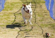 White pitbull terrier chasing a lure Stock Photos