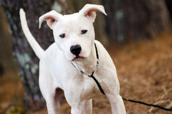 White Pitbull Terrier puppy dog royalty free stock images