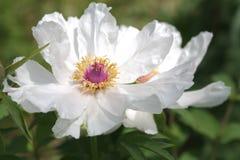white piwonii zdjęcia royalty free