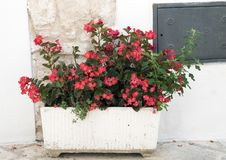 A white planter with Begonias on a street in the village of Locorotondo, southern Italy. Pictured is a planter with Begonias on a street in the village of Stock Photo