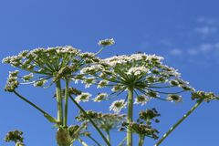 white plants against blue sky royalty free stock image