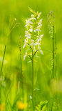 White Platanthera Orchid Stock Image