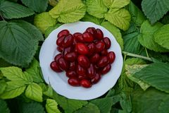 White plate with red cornel berries stands on green leaves in the garden Stock Photos