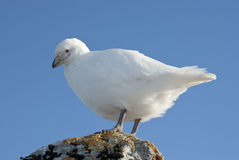 White plover sitting on a rock in Antarctica. Royalty Free Stock Image