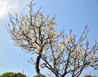 White Plum. In sunshine with blue sky Stock Image