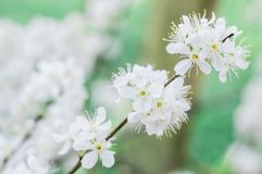 White plum beautiful and cute tiny blossom stock photography