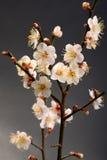 White plum bloossom Stock Photo