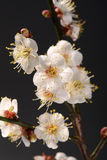 White plum bloossom Stock Images