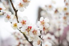 White plum blossom Royalty Free Stock Images