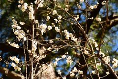 White plum blossom and branch stock images