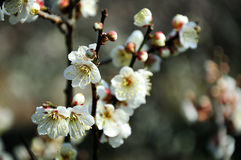 White plum blossom Royalty Free Stock Photos