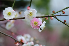 White plum blossom Stock Photo